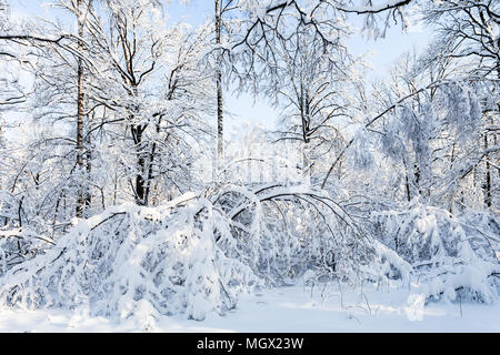 snow-covered woods in Timiryazevskiy forest park of Moscow city in sunny winter morning - Stock Photo