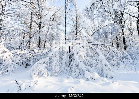 snowy woods in Timiryazevskiy forest park of Moscow city in sunny winter morning - Stock Photo