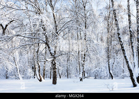 birch grove in snowy Timiryazevskiy forest park of Moscow city in sunny winter morning - Stock Photo