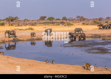 Elephants and baboons gather around a shrinking waterhole during a drought in Hwange National Park, Zimbabwe, September 9, 2016. - Stock Photo
