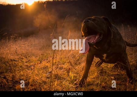 Big Black Dog Enjoying In Field Sunshine And Beautiful Sunset