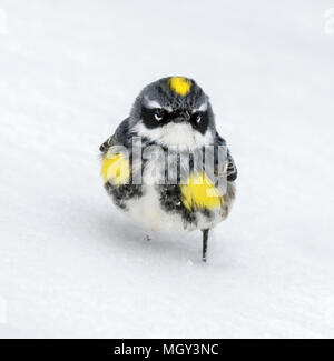 Male Yellow-rumped warbler (Setophaga coronata) on snow, Ames, Iowa, USA - Stock Photo