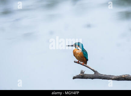 A white breasted king fisher sitting on a perch and scanning its surroundings for any movement - Stock Photo
