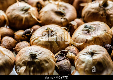 Flower Bulbs - Stock Photo