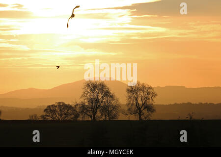Bright sunrise dawn landscape with trees and bird silhouettes over the Wrekin and the Shropshire Hills - Stock Photo