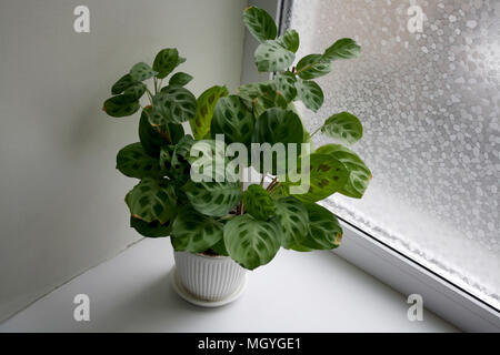 Maranta leuconeura Kerchoveana in white ceramic pot near window - Stock Photo