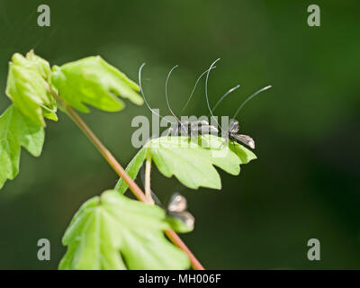 Adela reaumurella in spring. Tiny moths with ridiculously long antenna. - Stock Photo