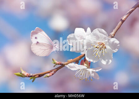 Beautiful white butterfly and branch of blossoming cherry in spring on blue and pink background close-up. Amazing elegant image of nature in early spr - Stock Photo