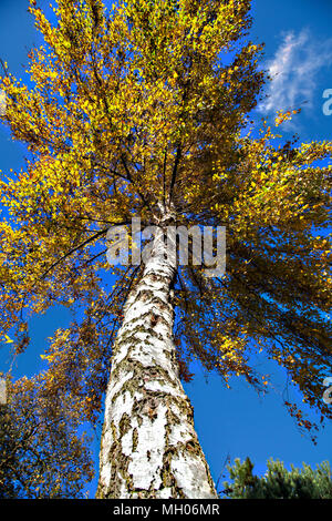 Silver Birch tree Betula pendula in its golden Autumnal Autumn colours against a blue sky seen from below - Stock Photo