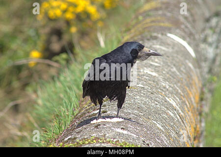 Corvus frugilegus, common rook, in full adult plumage perched on a stone wall watching the waters edge for food. - Stock Photo