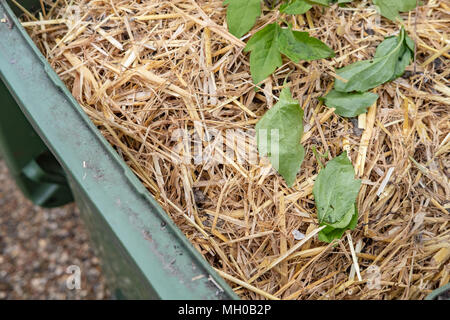 Shallow focus image of green waste including rabbit hutch straw seen in a green, local council wheelie bin ready for collection near a house. - Stock Photo