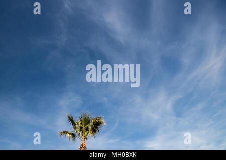 Date palm tree (Phoenix dactylifera) against a blue sky - Stock Photo