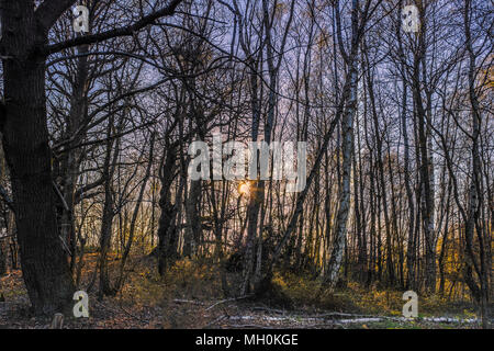 low afternoon sunlight shining through a copse of tall thin bare dense silver birch trees - Stock Photo