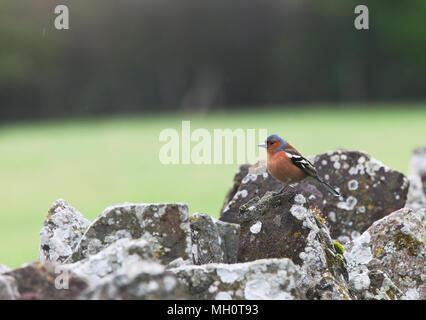 Chaffinch [ Fringilla coelebs ] on dry stone wall - Stock Photo