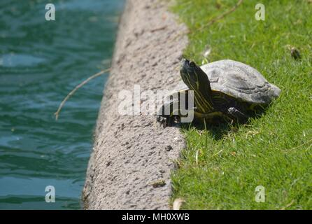 Happy Turtle enjoying the Arizona sun - Stock Photo