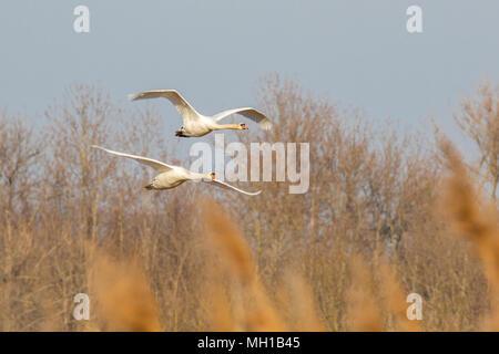fliegende Schwäne - Stock Photo