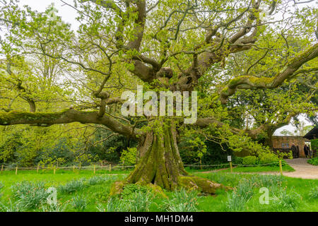 An ancient Pedunculate Oak Tree (Quercus robur) in Hampshire during spring/ springtime, England, UK - Stock Photo