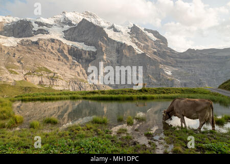 cows grazing next a pond with reflection of the Jungfrau peak in Switzerland - Stock Photo
