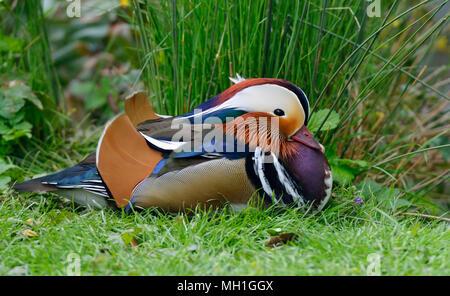 Mandarin Duck - Aix galericulata  Male resting on grass