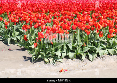 Field of tulips at the Skagit Valley Tulip Festival in Mount Vernon, Washington, USA.  A couple petals are on the ground in the foregroud. - Stock Photo