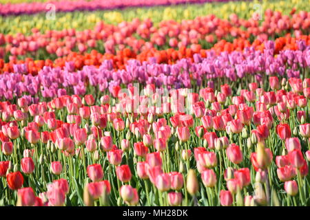 Colorful Tulips blooming in Skagit Valley, Washington USA - Stock Photo