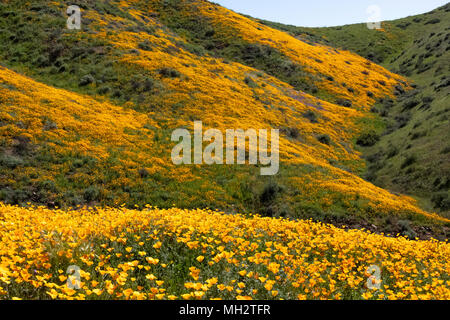 Wild flower super bloom in Walker Canyon California - Stock Photo