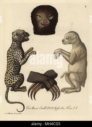 Head, paws, claws and newborn pale-throated sloth, Bradypus tridactylus, and young leopard, Panthera pardus. Handcoloured copperplate engraving after an illustration from nature by Christian Nicolaus Kleemann from Georg Wolfgang Knorr's Deliciae Naturae Selectae of Kabinet van Zeldzaamheden der Natuur, Blusse and Son, Nuremberg, 1771. Specimens from a Wunderkammer or Cabinet of Curiosities owned by Dr. Christoph Jacob Trew in Nuremberg.