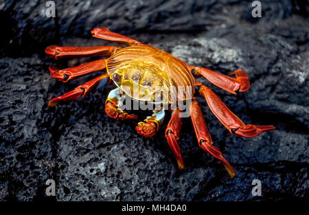 A brightly-colored Sally Lightfoot crab (Grapsus grapsus) skitters across the black lava rock on James Island in the Galapagos Islands (Archipiélago de Colón), a province of Ecuador in the Pacific Ocean off the west coast of South America. The 10-legged crustacean is among the many species of wildlife that have been given protection since 1959 with the establishment of the Galapagos National Park and the Charles Darwin Foundation. Darwin is the English naturalist who made the Galapagos famous after he formulated his theory of evolution based on his visit to its 20 volcanic islands in 1835. - Stock Photo
