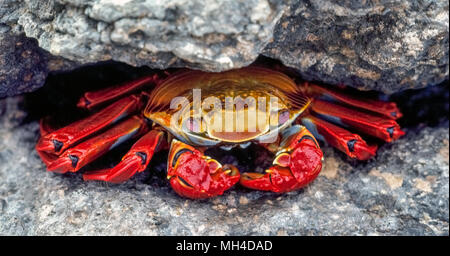 A brightly-colored Sally Lightfoot crab (Grapsus grapsus) hides in a crevice in the rocks on James Island in the Galapagos Islands (Archipiélago de Colón), a province of Ecuador in the Pacific Ocean off the west coast of South America. The elusive crustacean is among the many species of wildlife that have been given protection since 1959 with the establishment of the Galapagos National Park and the Charles Darwin Foundation. Darwin is the English naturalist who made the Galapagos famous after he formulated his theory of evolution based on his visit to its 20 volcanic islands in 1835. - Stock Photo