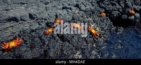 Brightly-colored Sally Lightfoot crabs (Grapsus grapsus) skitter across the black lava rock on James Island in the Galapagos Islands (Archipiélago de Colón), a province of Ecuador in the Pacific Ocean off the west coast of South America. This coastal crustacean is among the many species of wildlife that have been given protection since 1959 with the establishment of the Galapagos National Park and the Charles Darwin Foundation. Darwin is the English naturalist who made the Galapagos famous after he formulated his theory of evolution based on his visit to its 20 volcanic islands in 1835. - Stock Photo