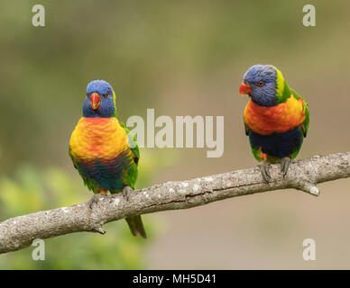 A pair of Rainbow Lorikeets on a branch, colorful birds found across Australia. - Stock Photo