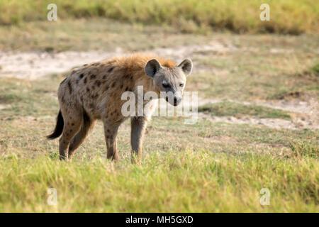 Spotted Hyena (Crocuta crocuta) in the National park of Kenya - Stock Photo