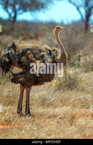 Female of African ostrich (Struthio camelus) in National reserve park of Kenya - Stock Photo