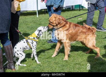Edinburgh, UK. 30th April 2018. Politicians and their dogs demonstrate their political and canine to see which of Scotland's most 'pawfect' political pooches is named Holyrood Dog of the Year.  The event, held by the two biggest canine welfare organisations in the UK, the Kennel Club and Dogs Trust, raises awareness of the issues affecting man's best friend today and highlights the unique relationships between MSPs and their dogs.  Pictured: Credit: Rich Dyson/Alamy Live News - Stock Photo