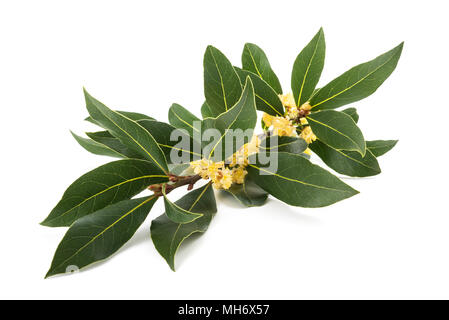 Laurel branch with flowers isolated on white - Stock Photo