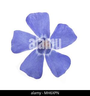 blue periwinkle  flower isolated on white background - Stock Photo