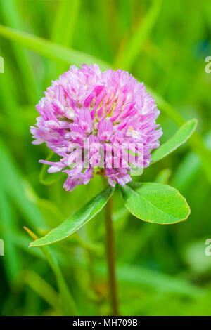 Red clover (trifolium pratense) in a meadow - Stock Photo