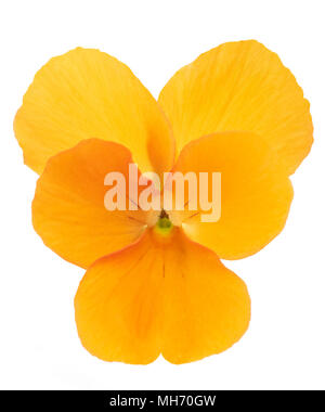Orange Pansy flower head isolated on white background - Stock Photo