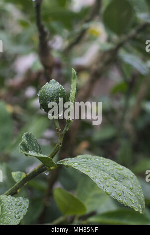 Immature fruit on a lemon tree branch, with water droplets after a rainstorm. - Stock Photo