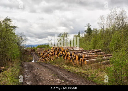 Timber harvesting in Scottish Highlands - wood piles on the sides of the road in the forest - Stock Photo