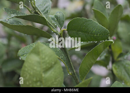 Leafy branch of a lemon citrus tree, with water droplets after a rainstorm. - Stock Photo