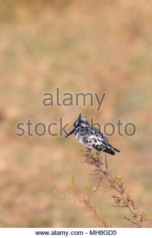 Pied kingfisher perched on a branch in the greater mara conservancies, Kenya - Stock Photo