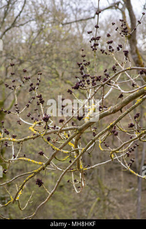 Ash tree buds & flowers - Stock Photo