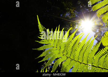 Bright sun rays shining through green ferns with copy space. Green energy and photosynthesis concept. - Stock Photo