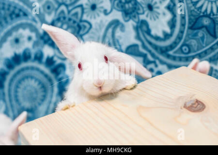 Gorgeous adorable baby bunny lop looking curiously at the camera. - Stock Photo