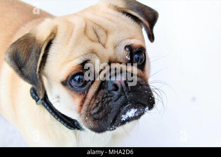A close up of a young Pug dog in the snow. - Stock Photo