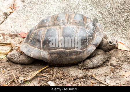 Giant turtles in Island Seychelles. - Stock Photo