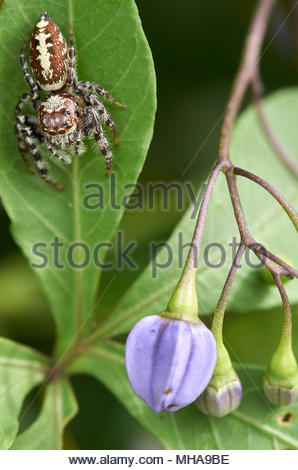 A brown and yellow Australian jumping spider, facing downward on a green leaf; purple flower buds hanging on the other side; and a green background. - Stock Photo