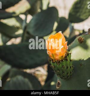 Close up of opuntia cactus flower - Stock Photo