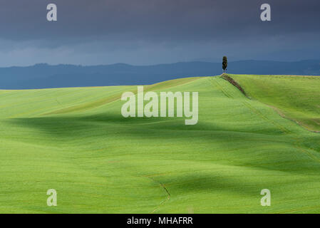 Tuscany landscape, lonely cypress tree on rolling hill with cloud shadows and sunlight on green grass in spring, Asciano, Crete Senesi, Tuscany, Italy - Stock Photo